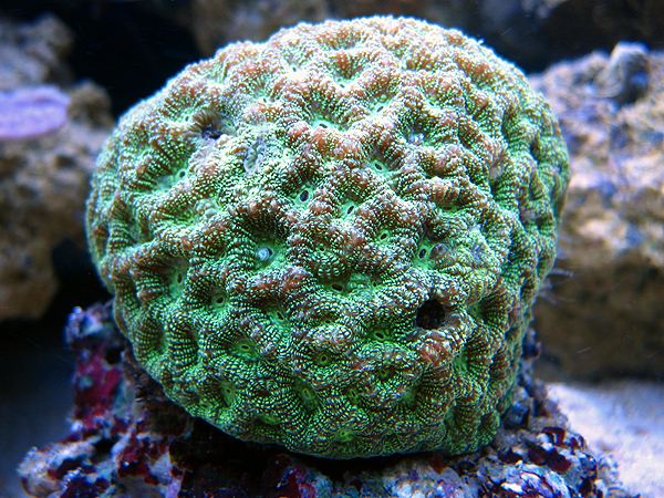 Grøn Favia